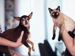 Del lado izquierdo un perrito tipo chihuahua color café oscuro con blanco y del lado derecho un gato color blanco con cara y patas color café oscuro