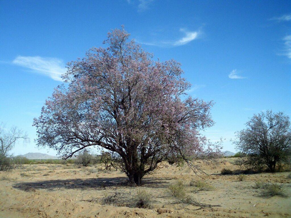 Árbol de Palofierro