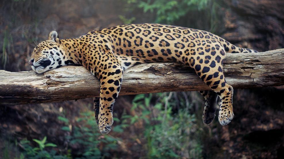 Jaguar dormido en tronco