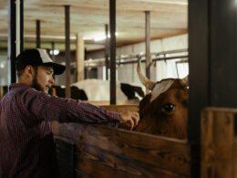 hombre con gorra y camisa de manga larga acaricia la cabeza d euna vaca en un establo