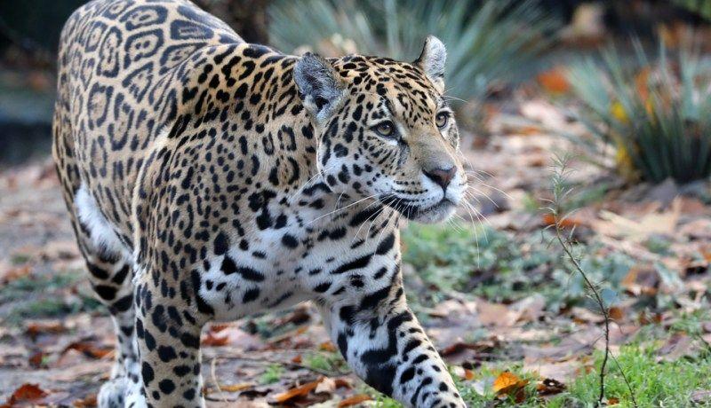 Jaguar proveniente de Sonora