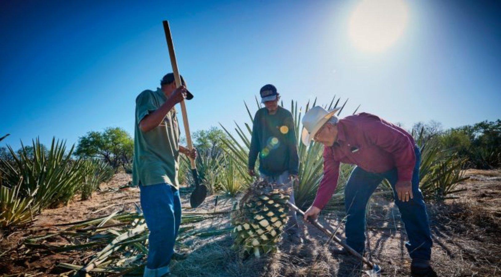 Tres hombres cortando agave gigante