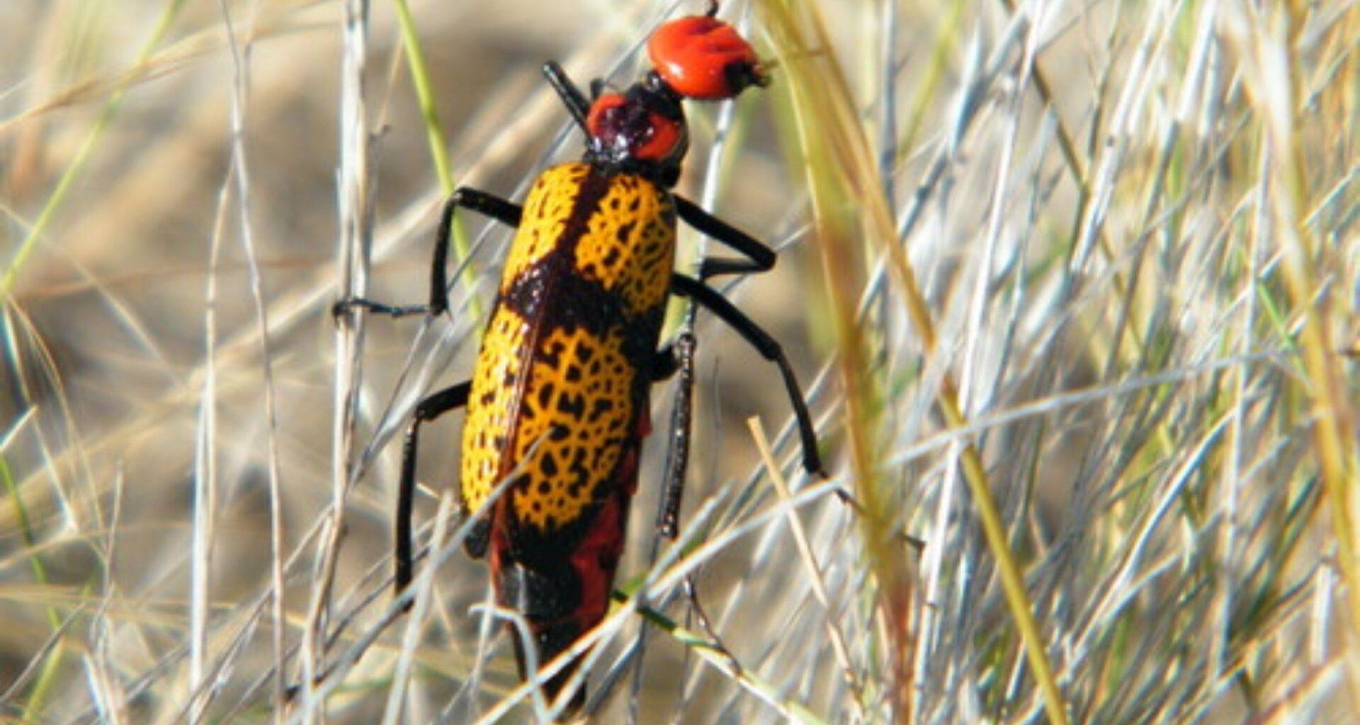 escarabajo de color amarillo, negro y rojo en la hierba seca
