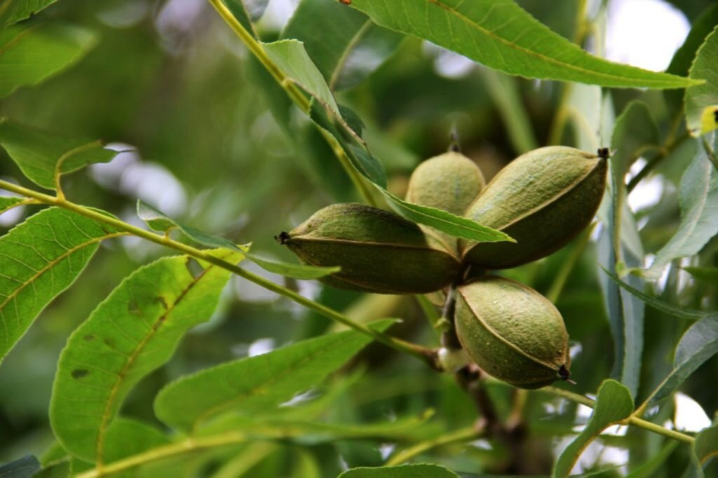 Ramas con hojas color verde, en una de las ramas se encuentran 4 frutos color verde olivo.
