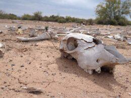 fotografía de cráneo de vaca muerta debido a sequía