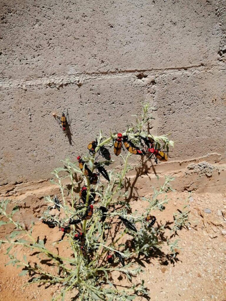 Planta con escarabajos cruz de hierro.