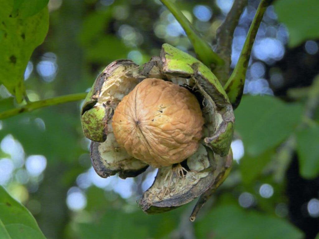 Fruto colgando de un arbol color verde, el fruto es color café y se encuentra en medio de una cáscara color verde con blanco. Chihuahua principal productor.