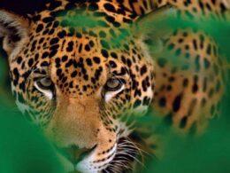 Cara de jaguar