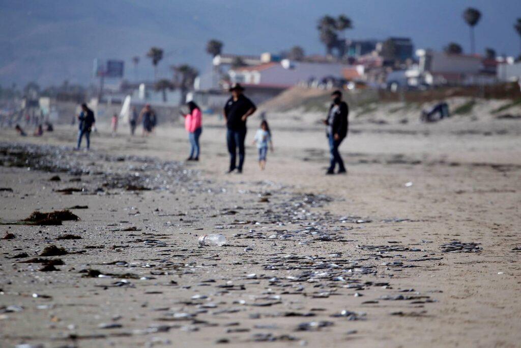Miles de peces muertos en Ensenada