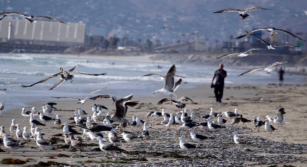 Gaviotas consumiendo peces muertos a la orilla del mar