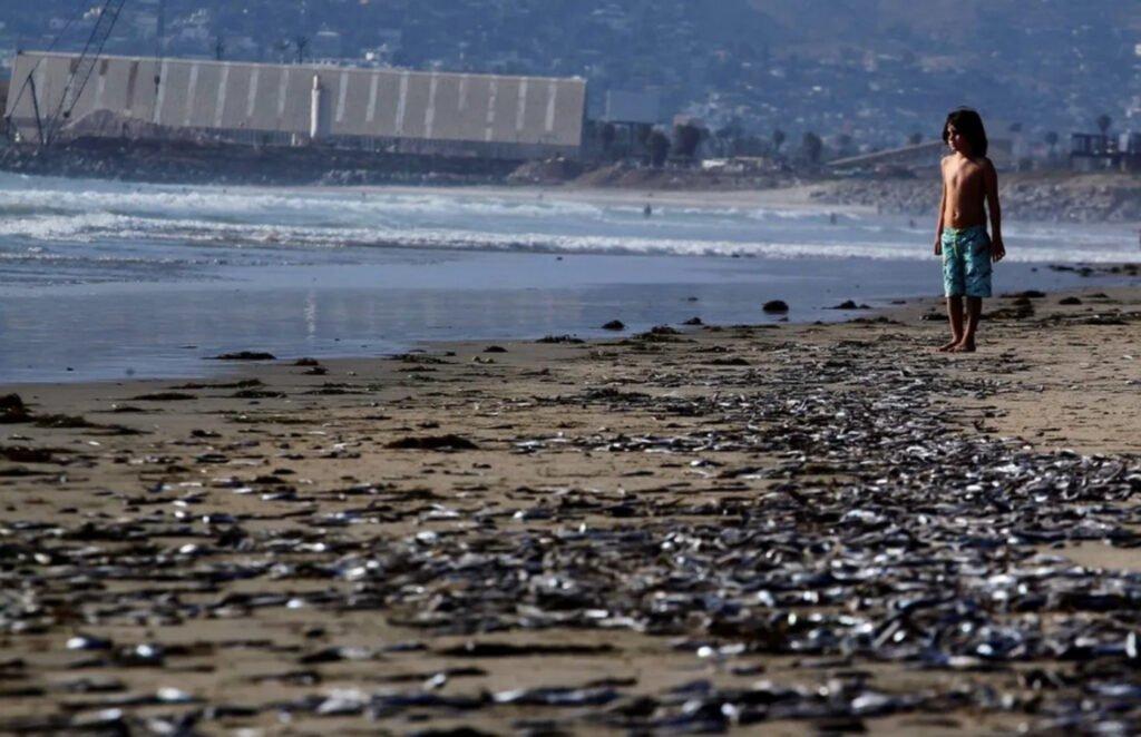 Playa de Ensenada con peces muertos
