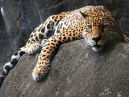 jaguar reposando sobre una roca