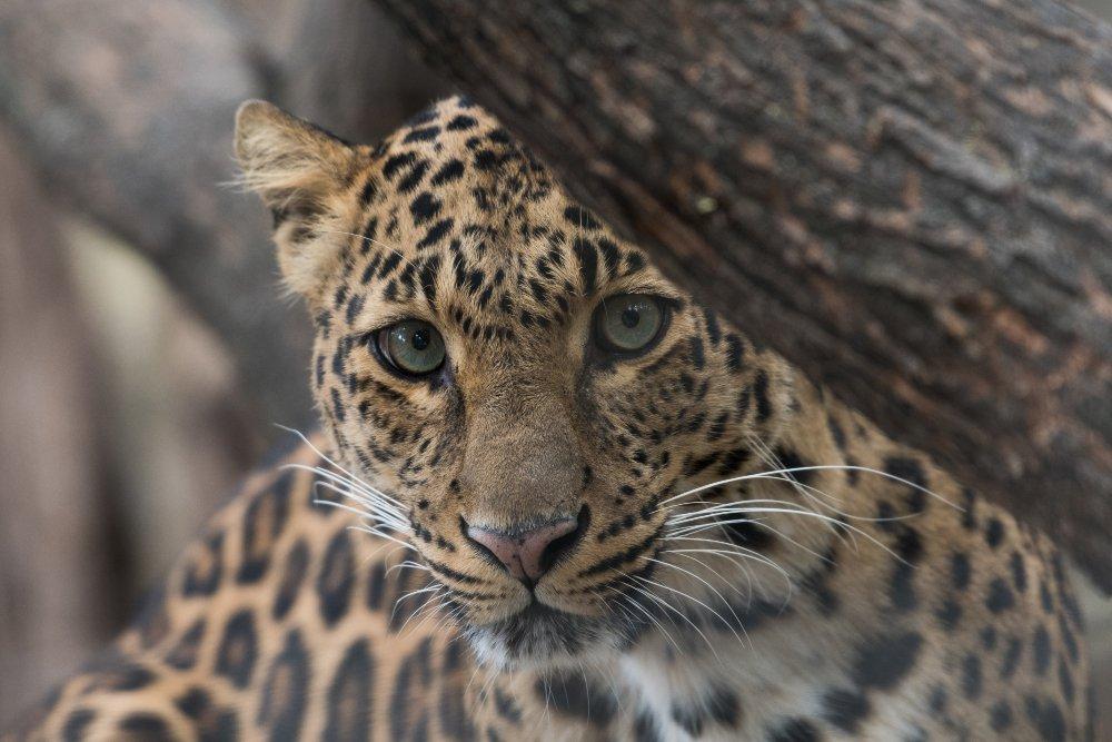 rostro de jaguar detrás de un tronco de árbol