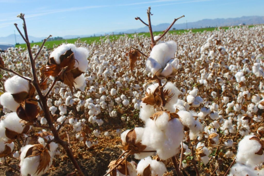 Sobresale Mexicali por siembra de algodón Campo de algodón