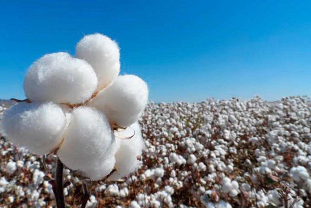 Cultivo de algodón en Mexicali