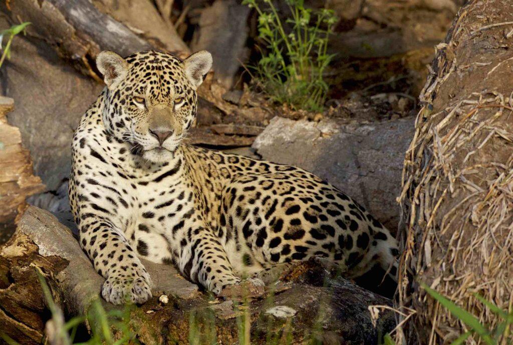 Jaguar forma parte de la biodiversidad sonorense