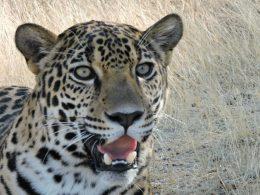 fotografía de la cara de un jaguar