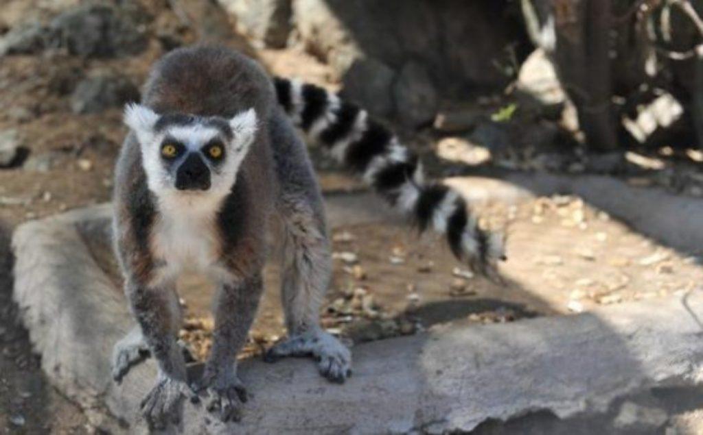 Lemur desaparecido en Sonora