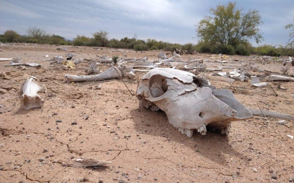 Muerte de ganado por sequía en Sinaloa