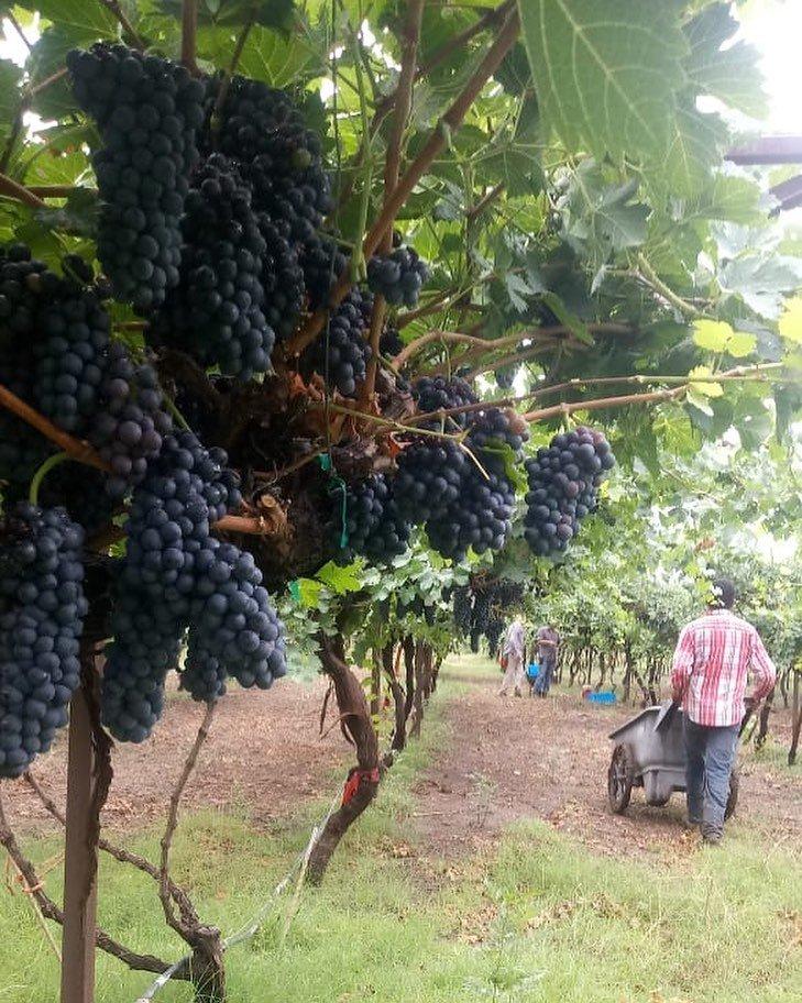 Recolección de uvas para realizar vino