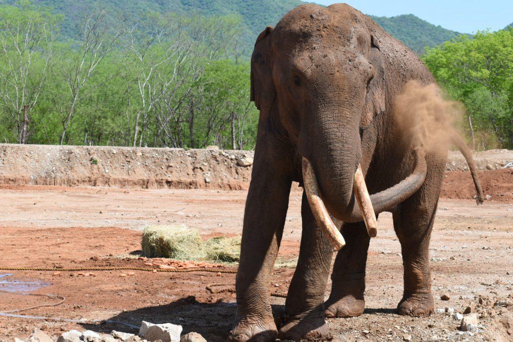 Elefante Big Boy en Santuario para animales ubicado en Sinaloa.