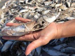 Restos de sardina en descomposición
