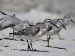 Pronatura Noroeste y UABCS invitan a diplomado de aves playeras