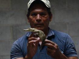 hombre sostiene un caimán