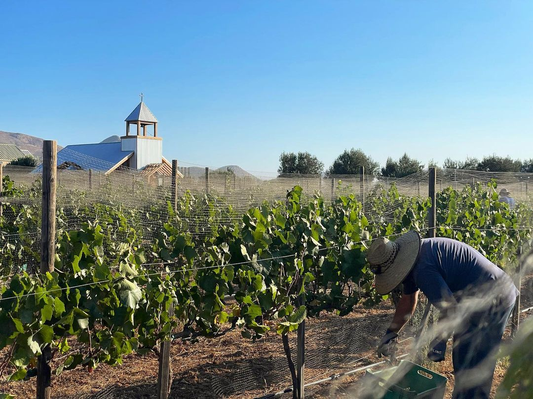 Inicio de vendimia 2021 con Chardonnay La Carrodilla.