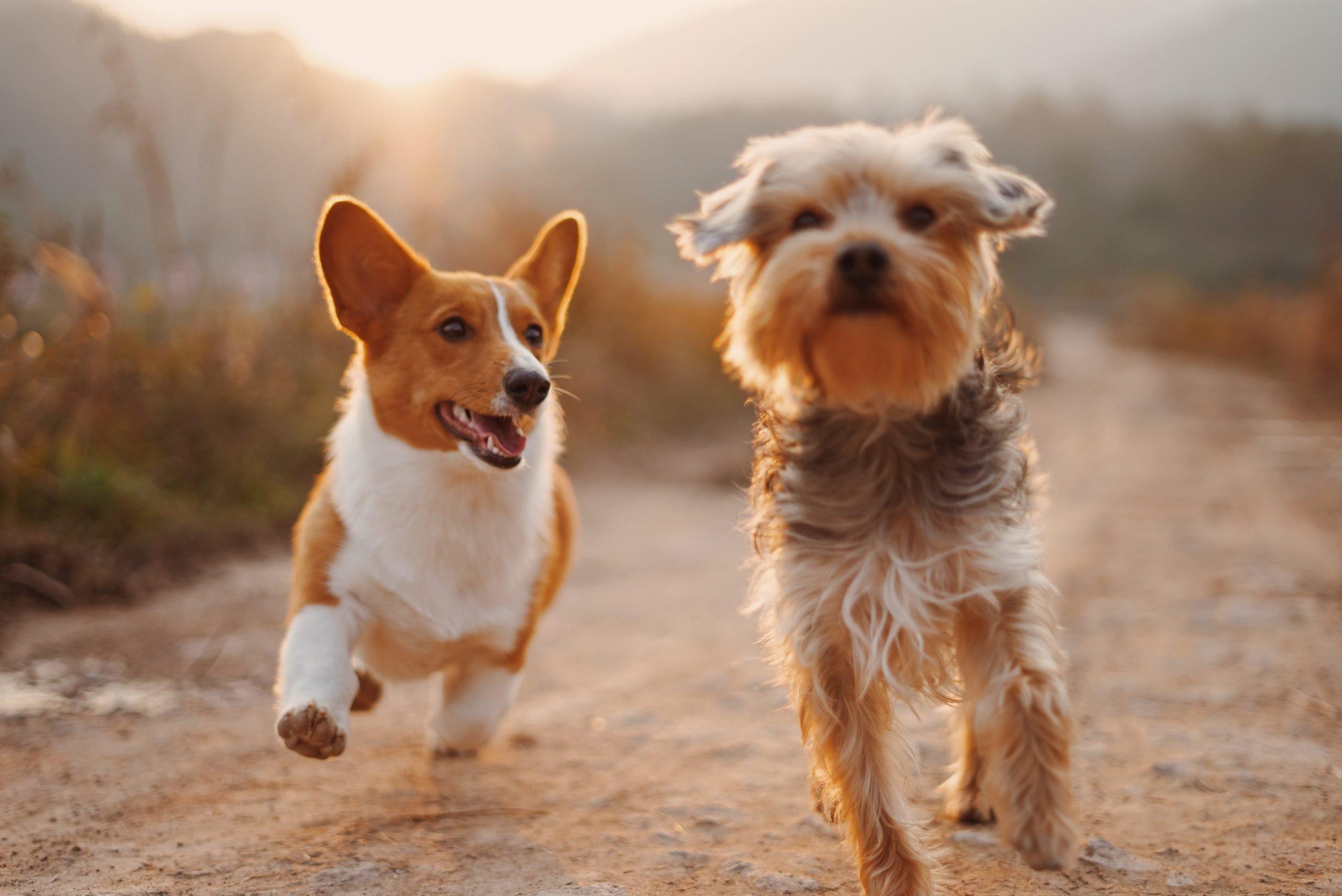 Dos perritos corriendo.