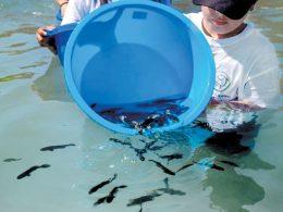 Liberando pez totoaba