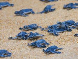 Tortugas marinas bebés