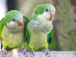 Pájaros Argentinos en un árbol