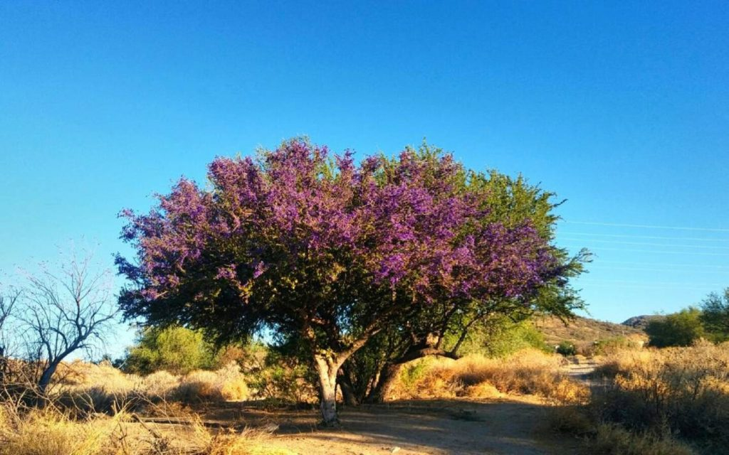 árbol de guayacán en desierto de Sonora